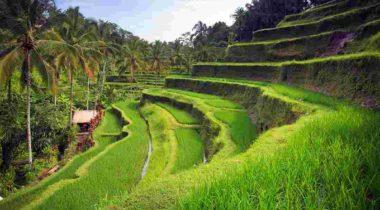bali-ubud-tegallang-rice-paddy-1100